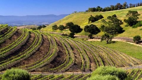 Vineyards in Santa Ynez Valley